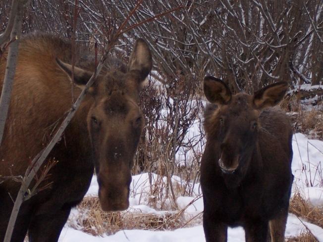 Kasilof Moose by Pegge Erkeneff